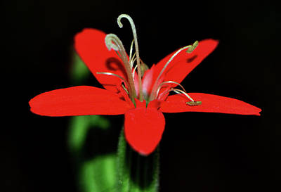 Photograph - Silene Regia - Royal Catchfly 001 by George Bostian