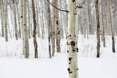 Photograph - Silent Snow In Aspen Forest by Denise Bush