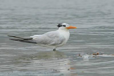 Photograph - Silent Tern by Fraida Gutovich