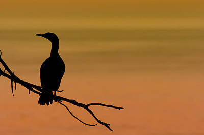 Perched Photograph - Silhouette Cormorant by Sebastian Musial