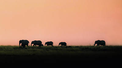 Photograph - Silhouette Elephants Walking At Sunset by Susan Schmitz