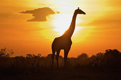 Silhouette Giraffe At Sunset Art Print