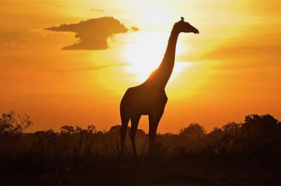 Silhouette Giraffe At Sunset Print by Joost Notten