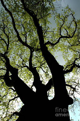 Silhouette Of A Tree Trunk With New Growth In Springtime Art Print
