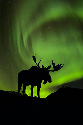 Snowy Night Photograph - Silhouette Of Moose With Green Aurora by John Hyde