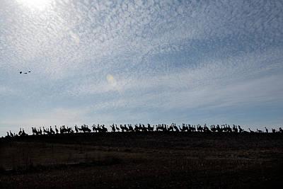 Photograph - Silhouette  Sandhills Crane Birds Feeding by Dan Friend