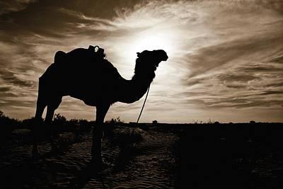 Silhouetted Camel, Sahara Desert, Douz Art Print