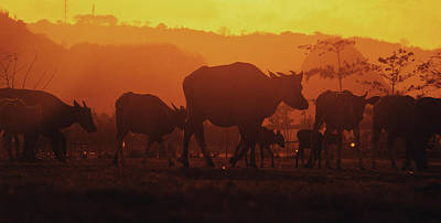 Silhouetted Heard Of Cows And Calfs In Pasture During The Golden Sunset Art Print