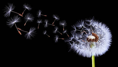 Copy Digital Art - Silhouettes Of Dandelions by Bess Hamiti