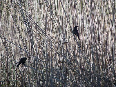Photograph - Silhouettes On The Reeds by Peggy King