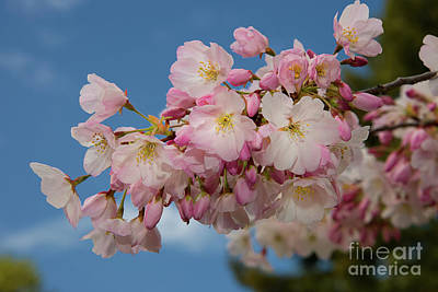 Photograph - Silicon Valley Cherry Blossoms-edit 1 by Glenn Franco Simmons