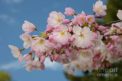 Photograph - Silicon Valley Cherry Blossoms-edit 2 by Glenn Franco Simmons