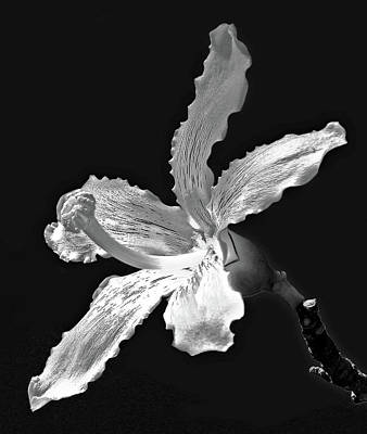 Photograph - Silk Floss Tree Blossom Bw   by HH Photography of Florida