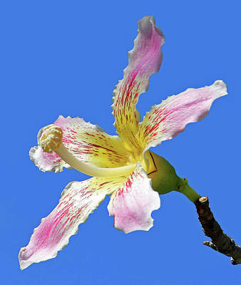Photograph - Silk Floss Tree Blossom by HH Photography of Florida