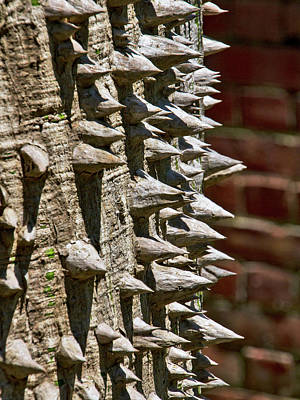 Photograph - Silk Floss Tree by Bob Slitzan