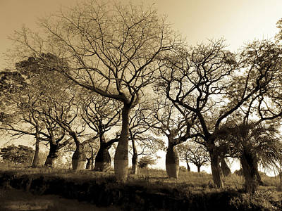 Photograph - Silk Floss Trees In Sepia by Helissa Grundemann