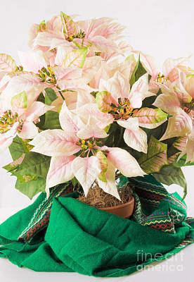 Silk Flower Christmas Arrangement Of Pink And White Poinsettias Art Print by Vizual Studio