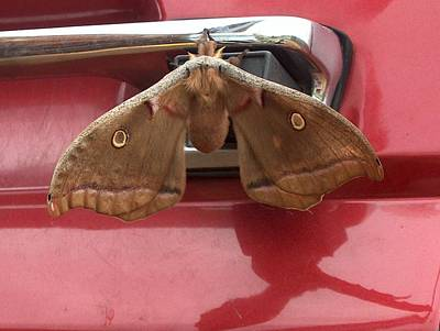 Photograph - Silk Worm Moth-polyphemus by Robyn Stacey