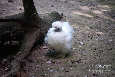 Photograph - Silkie The White Beauty by Michelle Meenawong