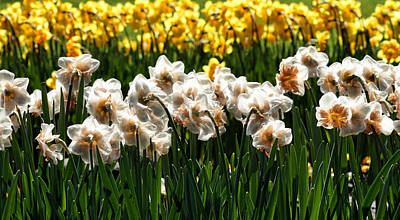 Photograph - Silky Daffodils by Cameron Wood