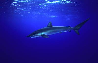 Silky Shark Art Print