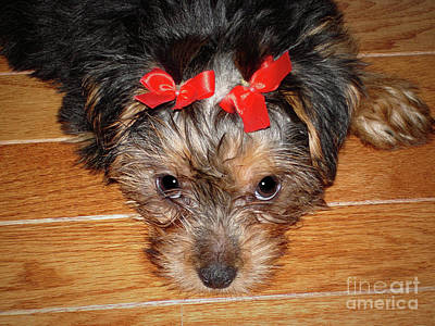 Photograph - Silky Terrier Puppy Face by Sue Melvin