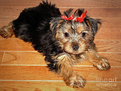 Photograph - Silky Terrier Puppy by Sue Melvin
