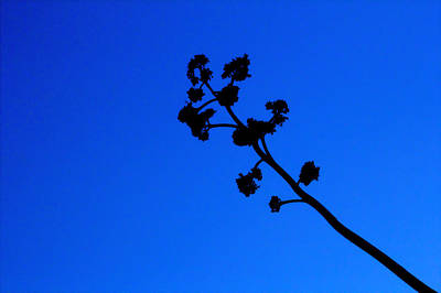 Photograph - Sillouetted Agave Blossom Against Blue Sky by Roger Passman