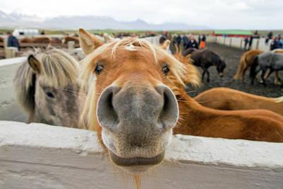 Silly Icelandic Horse Art Print