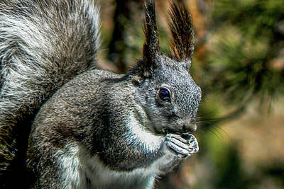 Photograph - Silver Abert's Squirrel Close-up by Marilyn Burton