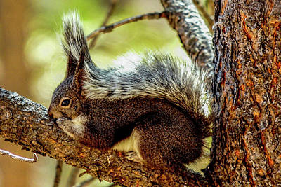 Photograph - Silver Abert's Squirrel On Pine Tree by Marilyn Burton