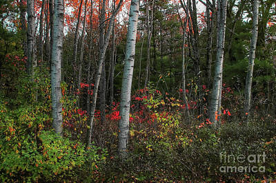 Photograph - Silver Birch In Autumn by Randy Pollard