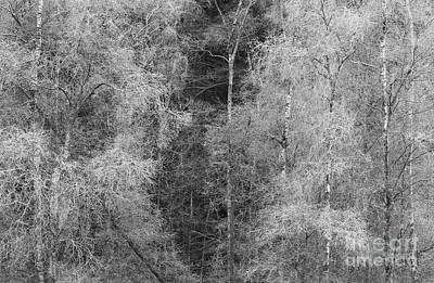 Monochromatic Study Photograph - Silver Birch Monochrome by Tony Higginson
