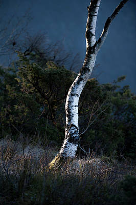 Photograph - Silver Birch by Roger Lever
