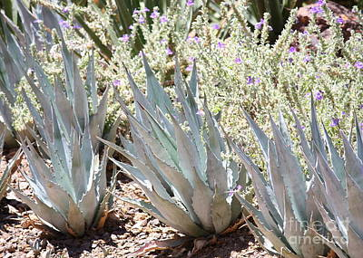 Silver Blue Agave With Purple Flowers Print by Carol Groenen
