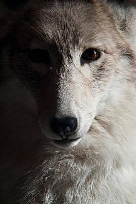 Photograph - Silver Coyote by Douglas Barnett