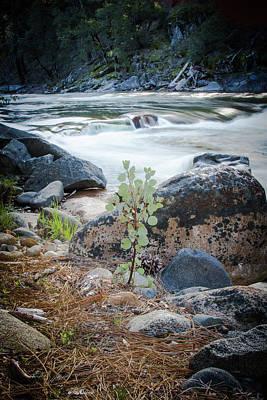 Photograph - Silver Fork Manzanita by Wes Jimerson