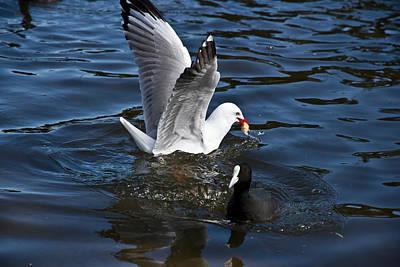 Photograph - Silver Gull And Australian Coot by Miroslava Jurcik