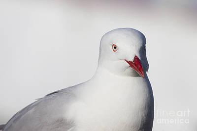 Photograph - Silver Gull by Karen Van Der Zijden
