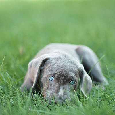 One Dog Photograph - Silver Lab Puppy by Laura Ruth