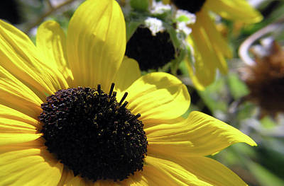 Photograph - Silver Leaf Sunflower by Adam Johnson