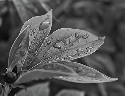 Photograph - Silver Leaves by Robert Brown