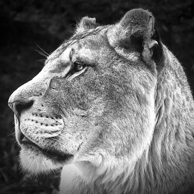 Art Print featuring the photograph Silver Lioness - Squareformat by Chris Boulton