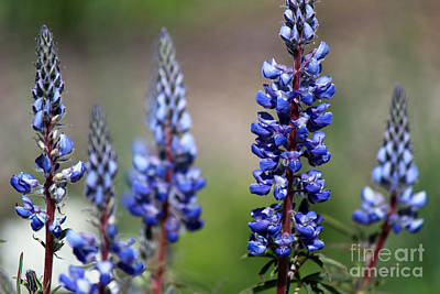 Photograph - Silver Lupine Blue Flowers II by Jackie Farnsworth
