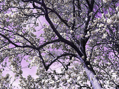 Photograph - Silver Magnolias by Shawna Rowe