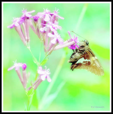 Photograph - Silver Spotted Skipper Butterfly by A Gurmankin