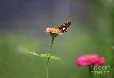 Photograph - Silver Spotted Skipper Butterfly by Karen Adams