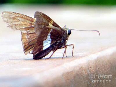 Silver Spotted Skipper Butterfly Art Print