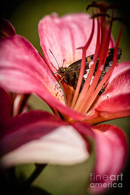 Virginia Butterfly Photograph - Silver-spotted Skipper On Lily by Thomas R Fletcher
