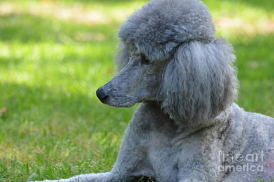 Photograph - Silver Standard Poodle 2 by Maria Urso